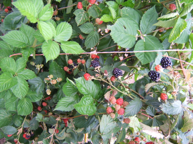 Green, Red and Black Blackberries on same plant